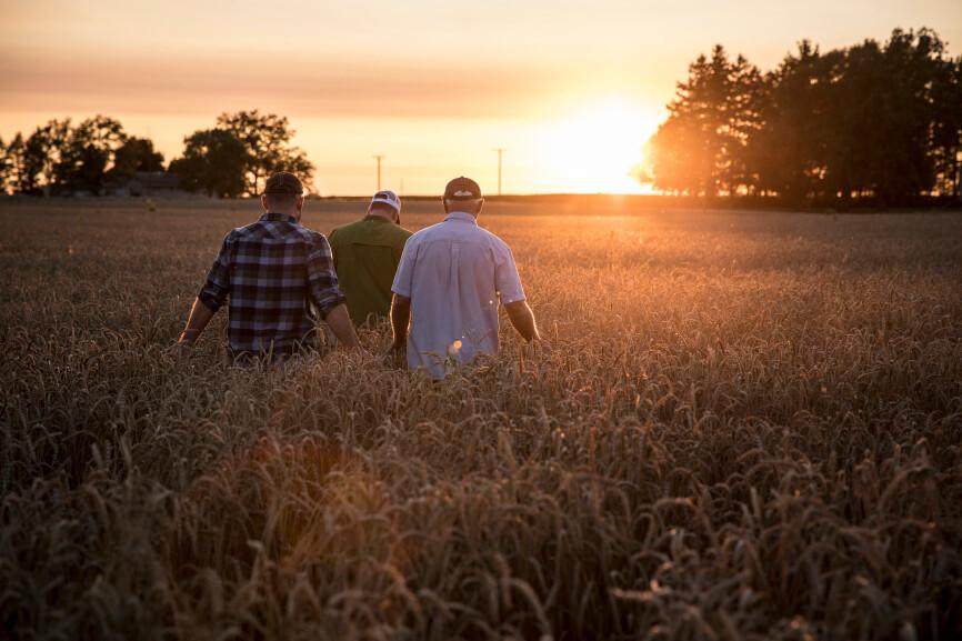 Three men walking in a wheat field moving towards the setting sun